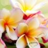 Leelawadee Fragrance ดอกลีลาวดี (1 kg)