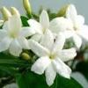 สารสกัดดอกมะลิ 100ml (Jasmine extract)