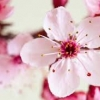 หัวน้ำหอม กลิ่นcherry blossom 0002344