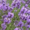 หัวน้ำหอม lavender M 001068