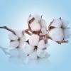 หัวน้ำหอม Clean Fresh cotton 003158