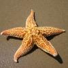สารสกัด ปลาดาว Starfish Extract 100g