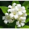 หัวน้ำหอมกลิ่นดอกแก้ว 002672