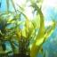 สารสกัดสาหร่ายทะเล 100g thumbnail 1