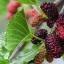สารสกัด mulberry extract 100ml thumbnail 1