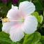หัวน้ำหอม กลิ่นดอกชบา 002933 thumbnail 1