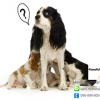 การดูแลสุนัขตั้งท้อง การคลอด และลูกสุนัขแรกคลอด
