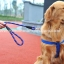 สายจูงสุนัขโต แบบรัดอก สีน้ำเงิน thumbnail 5