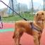 สายจูงสุนัขโต แบบรัดอก สีน้ำเงิน thumbnail 1