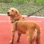 สายจูงสุนัขโต แบบรัดอก สีดำ thumbnail 4