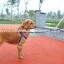 สายจูงสุนัขโต แบบรัดอก สีน้ำเงิน thumbnail 4