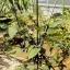 GF005 ไม้ค้ำต้นไม้ สามขา Plastic tripod for plant thumbnail 1