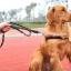 สายจูงสุนัขโต แบบรัดอก สีดำ thumbnail 1