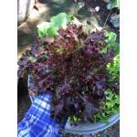 เมล็ดเรดสลัดโบลว์ (Red Salad Bowl Lettuce) 2กรัม