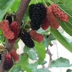 หม่อนฟูจิแดง - Red Fuji Mulberry