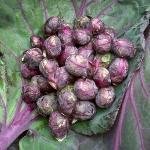 กะหล่ำดาวสีแดง - Red Bull Brussels Sprout 100 เมล็ด