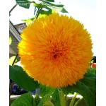 ทานตะวันซันโกลด์ - Sungold Sunflower 20 เมล็ด