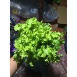 เมล็ดกรีนสลัดโบลว์ (Green Salad Bowl Lettuce)2กรัม
