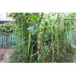 ถั่วฝักยาว - Yard Long Bean (1-1.2 เมตร) 30 เมล็ด