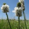 โคลเวอร์แพร์รี่สีขาว - White prairie clover