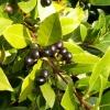 ต้นกระวาน - Bay leaf (Laurus nobilis)