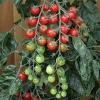 มะเขือเทศราพันเซล F1 - Rapunzel Tomato F1