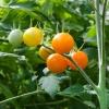 มะเขือเทศซันชูการ์ F1 - Sun Sugar F1 Tomato (หวานมาก 10 Brix)