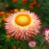 ดอกกระดาษสีแซลมอน - Salmon Strawflower