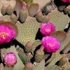 กิ่งพริคลี่แพร์หางบีเวอร์ - Opuntia basilaris