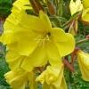 อีฟนิ่งพริมโรสสีเหลือง - Yellow Evening Primrose