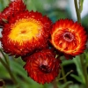 ดอกกระดาษสีแดง - Red Strawflower