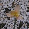 บัวดินเบย์เบอรี่เบลล์ - Zephyranthes Bayberry Bells