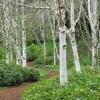 เบิร์ชญี่ปุ่นสีขาว - Japanese White Birch Tree (พรีออเดอร์)