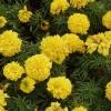 ดาวเรืองฝรั่งเศสเยลโล่บอย - Yellow Boy French Marigold