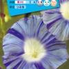 มอร์นิ่งกลอรี่บลูดราก้อน - Blue Dragon Morning Glory