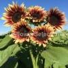 ทานตะวันโปรคัทพลัม - Procut Plum Sunflower (พันธุ์ตัดดอก)