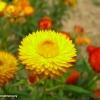 ดอกกระดาษสีเหลือง - Yellow Strawflower