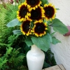 ทานตะวันโปรคัทสองสี - Procut Bicolor Sunflower (พันธุ์ตัดดอก)