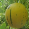เมล่อนดาวตกสีเหลือง - Yellow Meteor Melon (พรีออเดอร์)