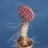 พริคลี่แพร์ซานตาริต้า (พันธุ์หนามยาว) - Opuntia violacea v. macrocentra