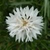 คอร์นฟลาวเวอร์สีขาว - White Cornflower