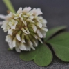โคลเวอร์ดัชสีขาว - White Dutch Clover (ตำนานโคลเวอร์ 4 แฉก)