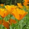 ป๊อปปี้แคลิฟอร์เนียมิคาโด - California Mikado Poppy