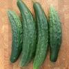 แตงกวาญี่ปุ่นมังกรเขียว - Japanese Green Dragon Cucumber