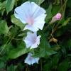 มอร์นิ่งกลอรี่ดรีมพาเลซ - Dream Palce Morning Glory