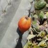 แอปเปิ้ลเปรูเวี่ยนสีส้ม - Orange Peruvian Apple