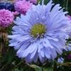 แอสเตอร์จีนสีฟ้า - Blue China Aster