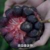 น้อยหน่าเครือสีม่วง - Kadsura coccinea Purple
