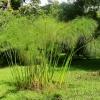 ต้นกระดาษปาปิรุส - Cyperus papyrus