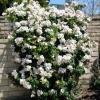 กุหลาบเลื้อยสีขาว - White Climbing rose
